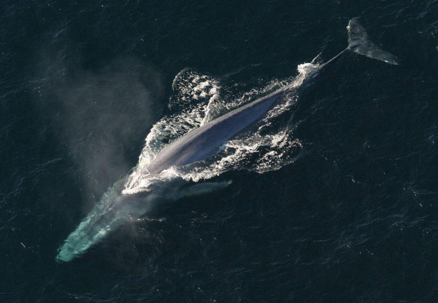 A baleia-azul (Balaenoptera musculus) é um mamífero marinho pertencente à subordem Mysticeti dos cetáceos. Com até 30 m de comprimento e mais de 180 t de peso, são os maiores animais que já existiram - Foto: NOAA Photo Library / Wikimedia