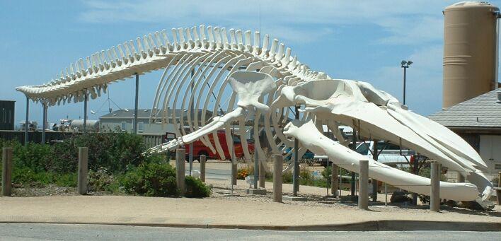 Esqueleto de baleia-azul em frente ao Long Marine Laboratory da Universidade da Califórnia em Santa Cruz - Bronwen Lea / Wikimedia