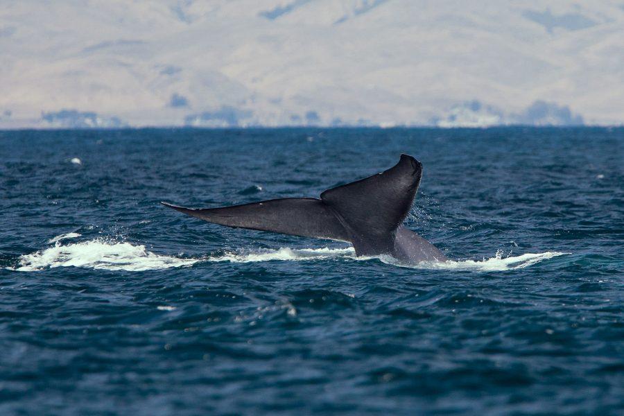 Uma baleia-azul, levantando as nadadeiras de sua cauda durante um mergulho - Mike Baird / Wikimedia