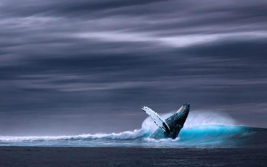 O maior animal do mundo é a baleia-azul