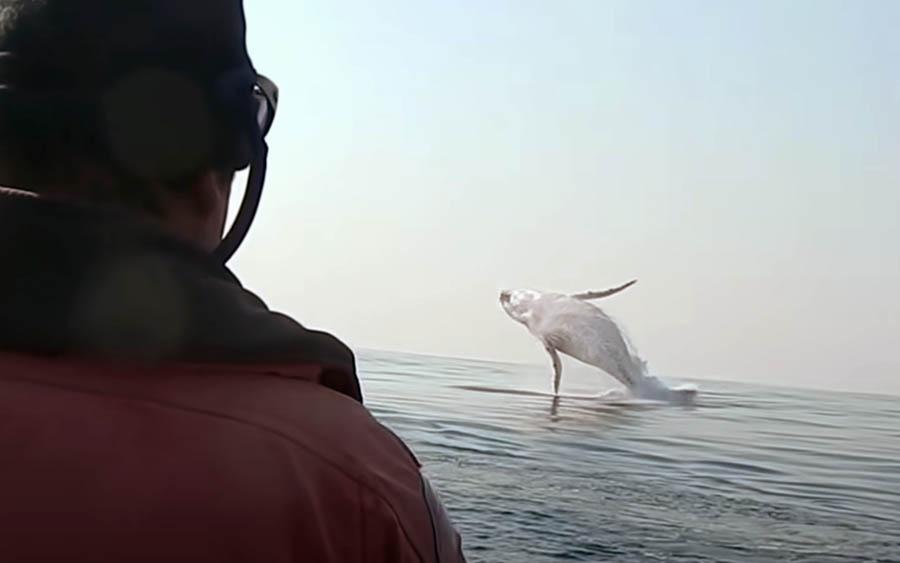 Baleia Jubarte é flagrada pulando para fora da água