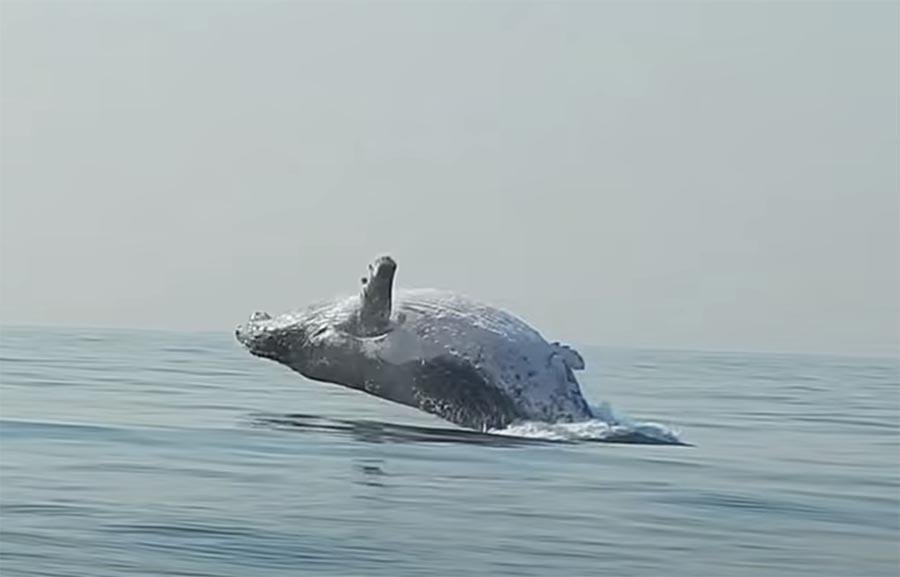40 toneladas de baleia jubarte pula totalmente para fora d'água! Um vídeo de Craig Capehart