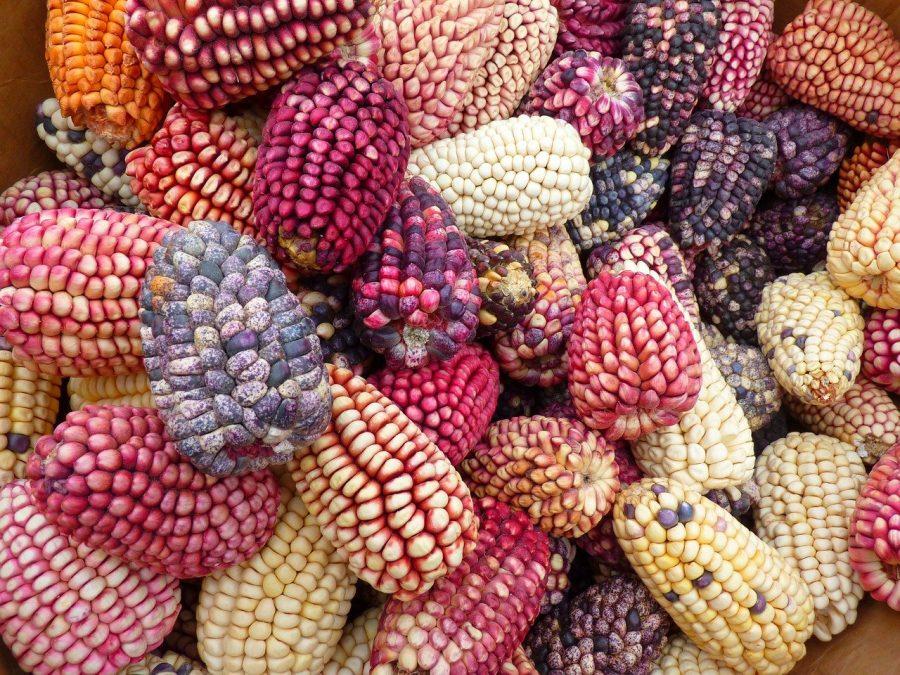 As origem do delicioso milho